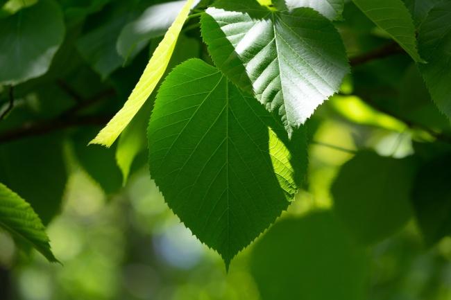 绿叶.jpg